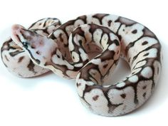 Pewter Bee - Morph List - World of Ball Pythons Pretty Snakes, Beautiful Snakes, Cute Reptiles, Reptiles And Amphibians, Cute Creatures, Beautiful Creatures, Ball Python Morphs, Cute Snake, Python Snake