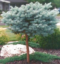 standard pom pom tree (globosa colorado blue spruce)