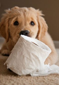 Proper Golden Retriever Puppy Training - #GoldenRetrievers #Puppies for Sale!