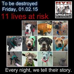 TO BE DESTROYED: 11 beautiful dogs to be euthanized by NYC ACC- FRI. 01/02/15. This is a VERY HIGH KILL shelter group. YOU may be the only hope for these pups! ****PLEASE SHARE EVERYWHERE!!!  To rescue a Death Row Dog, Please read this:  http://urgentpetsondeathrow.org/must-read/    To view the full album, please click here:    https://www.facebook.com/media/set/?set=a.611290788883804.1073741851.152876678058553&type=3
