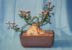 Enchérir et acheter RARE Red Monadenium montanum PLANT BONSAI sur eBay - 280375771535