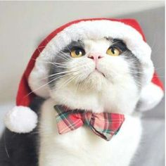 So many cute kittens videos compilation 2019 Christmas Kitten, Christmas Animals, Merry Christmas, Cute Kittens, Cats And Kittens, Siamese Cats, Animals And Pets, Cute Animals, Beautiful Cats