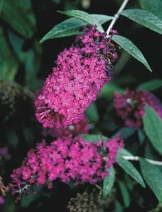 """Attraction Butterfly Bush 'Zone: 5a to 9b,  Height: 55"""" tall, Sun, Origin: Hybrid"""