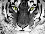 Prachtige zwart wit foto met de kop van een tijger met groene ogen
