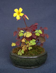 Kusamono Oxalis in flower