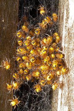 Baby Garden Spiders