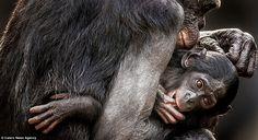 Affection: It's hard not to wonder what the Bonobos are thinking when we see them displaying similar actions to ourselves, such as a mother cradling a youngster
