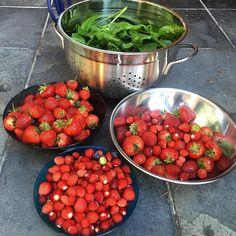 It was a good day in the garden! #spinach #strawberries #gardening #homegrown #westcoastliving #fruit #nomnom #yummy