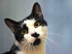 TO BE DESTROYED 10/19/14 ** FRIENDLY, ADORABLE TUXIE!! Moses was displaying friendly behavior; interacts with the Assessor, solicits attention, is easy to handle and tolerates all petting. ** Brooklyn Center My name is MOSES. My Animal ID # is A1016129. I am a male black and white domestic sh mix. The shelter thinks I am about 4 YEARS old. I came in the shelter as a STRAY on 10/02/2014 from NY 11435