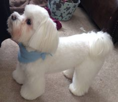 Maltese : Love this cut.  This is Bentley.                                                                                                                                                                                 More