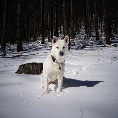 Kishu-inu on the Snow