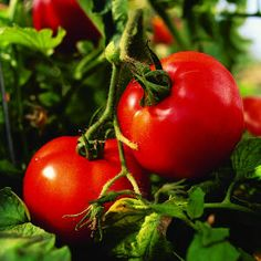 How to grow the perfect tomato