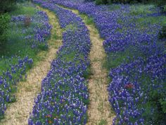 Tracks in Bluebonnets, near Marble Falls, Texas