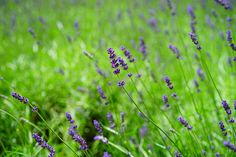 lavender-1365929_960_720.jpg (960×640)