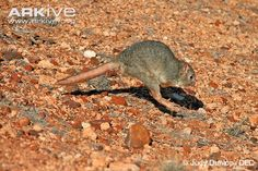 Boodie or burrowing bettong (Bettongia lesueur)