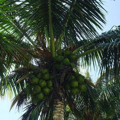Weinanbaugebiet - Kanaren - Lanzarote #spain #kanaren #canarias #palmen #lanzarote #futeventura #instatraveling #instagram #picture #jameosdelagua #jameosdelagualanzarote #palmtrees #cesarmanrique #cactus #geira #vine #wein #palmtrees #cocos