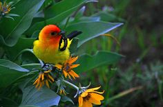 Western Tanager ~photo by funhawg