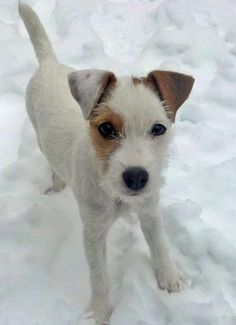 Hana - Jack Russell Terriers - Smarter than the average American and definitely more active!! canine-crushes