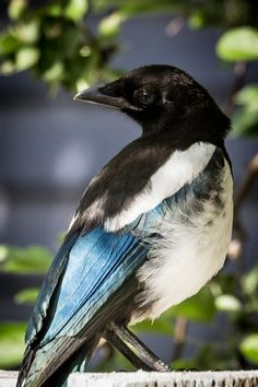 Squawky McMagpie