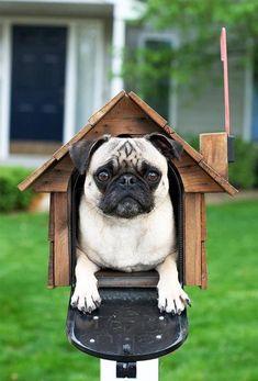 Pug mailbox, envoye essaye de mettre une lettre pour voir hahahaha!