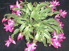 Aeonium arboretum atropurpureum reproduccion asexual en