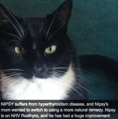 Like many cats his age, Nipsey (pictured above) was suffering from feline hyperthyroidism. He is only nine years old, but he isn't alone. Hyperthyroidism in cats is the most common glandular disorder in middle aged to senior cats.