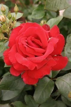 Treloar Roses - FRAGRANT CHARM