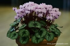 Steve Walters won first prize for this beautiful container of Cyclamen coum ex CSE.