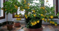 Sitruunapuu on mahdollista kasvattaa sisätiloissa, ja näin pääsemme nauttimaan sen kallisarvoisista, terveellisistä hedelmistä.