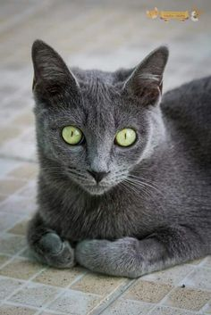If you are looking for a truly unique and beautiful kitten you don't have to look much further than the Russian Blue breed. Delightful Discover The Russian Blue Cats Ideas. Blue Cats, Grey Cats, I Love Cats, Cool Cats, Indoor Pets, Super Cute Animals, Russian Blue, Grumpy Cat, Beautiful Cats
