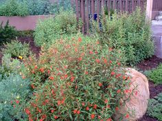 Red monkey flower against a boulder in a Southern California garden. Diplacus puniceus, Red monkey flower hummingbird