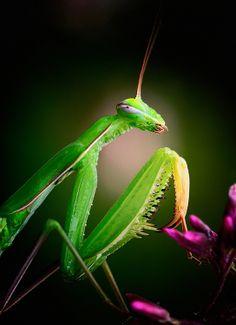 praying mantis | Praying-Mantis-Photo-Alien-Visitor