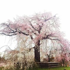 【yoko0524m】さんのInstagramをピンしています。 《ずーっと昔から 見慣れた枝垂れ桜… 桜もまた時の流れを見てきたかな…꒰ღ˘◡˘ற꒱ * 曇り空にもキレイ… * 京都 円山公園 * 去年の桜 * * #flower #flowers #instagram #instagood #instalike #instadaily #photography #photo #photooftheday #picoftheday #japan #kyoto #京都 #loves_nippon #inspring_shot #nature_special_ #thehub_soft #art_of_japan_ #insta_pick_blossom #wt_florals #ptk_flowers #heart_imprint #wp_flower #はなまっぷ #桜 #円山公園 #写真 #写真好きな人と繋がりたい #ファインダー越しの私の世界》
