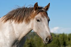 Kayenta: the stunning red roan filly (Diamond x War Bonnet). Removed in the Pryor bait trap Summer Clouds Band, Horse Portrait, Rough Riders, Wild Mustangs, Wild Ones, Equine Photography, Wild And Free, Beautiful Horses, Bait Trap