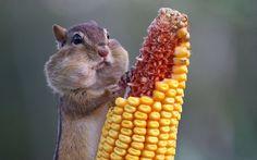Ardilla comiendo maiz
