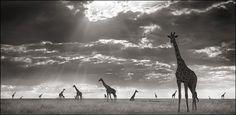 Giraffes in Evening Light by Nick Brandt