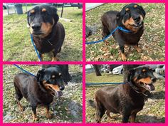 Urgent Dogs of Miami - Miami Dade County Animal Services HIGH KILL!!!! Rosie-3 year old Rottie mix girl. Wonderful, easy-going temperament. Low-med energy. Dog friendly. Loved her leash walk and didn't want to go back. About 45 lb. At MDAS #A1676006 https://www.facebook.com/urgentdogsofmiami/photos/pb.191859757515102.-2207520000.1422700690./918459578188446/?type=3&theater