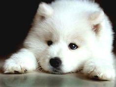 Sad <b>Samoyed</b> puppy photo and wallpaper. Beautiful Sad <b>Samoyed</b> puppy . Siberian Samoyed, Samoyed Dogs, Cute Puppies, Cute Dogs, Dogs And Puppies, Wolf Puppies, Doggies, Aussie Puppies, Tier Wolf