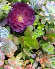 pretty colored succulents