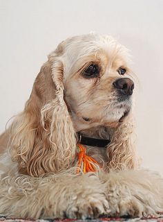 A Portrait of an American Cocker Spaniel | Flickr - Photo Sharing!
