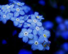 Forgot me not Flowers Spring