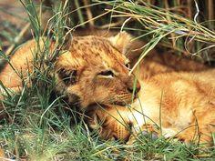 Édes kis oroszlán kölykök      Sweet lion kids