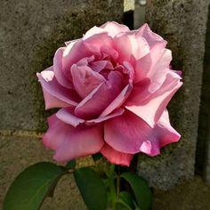 Una #rosa del #jardín. ¿Os gusta?  #rosales #plantas #arbustos #rosales Drawings, Plants, Planting Roses, Beautiful Roses, Rose Trees, Landscaping, Vegetable Gardening, Flowers, Bebe
