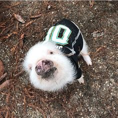 prissy_pig Rooting hard for the Jags! Happy Snout Sunday! Who wants a #PiggyPenn kiss? #JacksonvilleJaguars #tealsqueal #DTWD #jaguars #newenglandpatriots #jagsnation #PrissyandPop 2018/01/22 06:54:52
