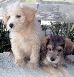 Uptown Dogs Schnoodles in Pacific Northwest