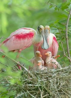 Roseate Spoonbill Family - The Bill long and straight with broad spatulate tip from which the bird gets its name. Mainly white, with brilliant pink wings and flanks, and orange tail; shoulder rich crimson. Immature pale pink and white.