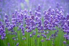 Growing Lavender In Zone 9 – Best Lavender Varieties For Zone 9 Zone 9 Gardening, Container Gardening, Flower Gardening, Growing Lavender, Lavender Oil, Lavender Fields, Repeler Mosquitos, Garden Plants, Indoor Plants