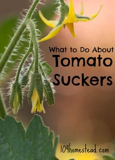Many people wonder when and how to prune their tomatoes. What are tomato suckers? How do you remove them? When shouldn't you remove tomato suckers?