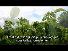Les secrets de la taille et de la greffe des arbres fruitiers bio : Taille du framboisier
