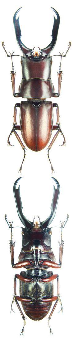 Prosopocoilus capricornus